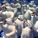 polar bears group